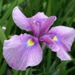 4月下旬 早咲きの大輪の花菖蒲