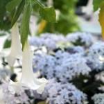 純白のドレスのようなブルグマンシア(エンゼルトランペット)