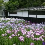 加茂荘の塀の横の花菖蒲 6月上旬