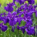 新峰紫(しんみねむらさき)