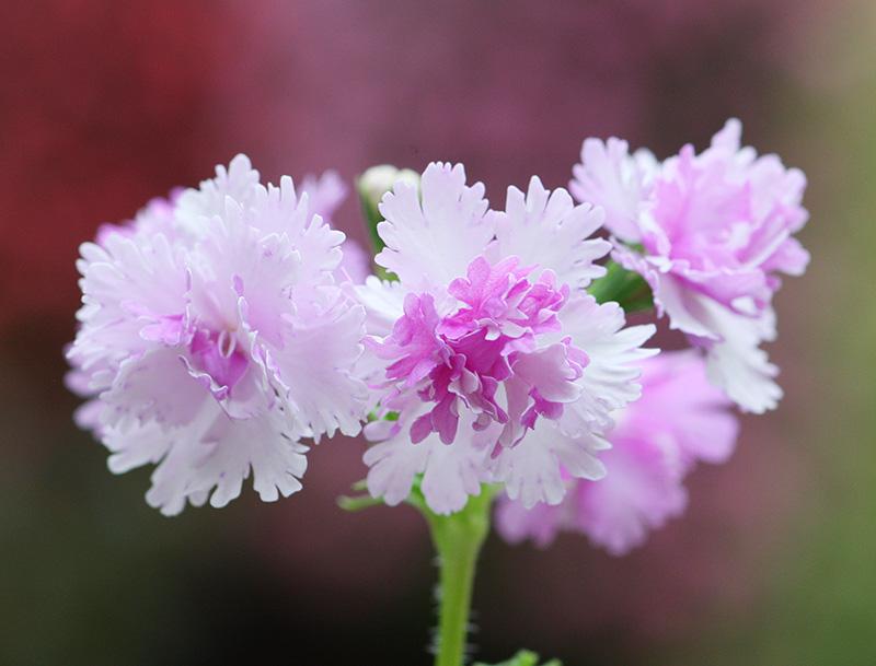 八重咲きサクラソウ