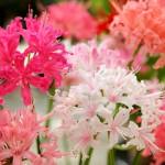 色とりどりで非常に多彩な、美しい洋花です