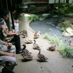 屋敷裏池 水鳥