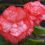Large-flowered tuberous begonias, developed and born at our garden