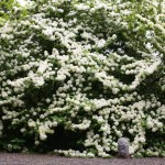From April to May, the Viburnum plicatum which rests near the old temple turns to be a masterpiece