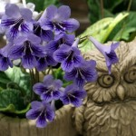 Original variant of streptocarpus born at our garden