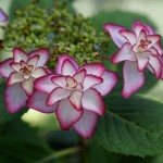 Brand new hydrangea (not named yet). At our site, you can see the latest development of the variants.