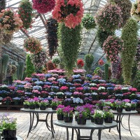 You will be able to enjoy the Kamoso's fabulous hydrangeas at the greenhouse.