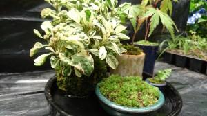 ミニ盆栽・苔玉