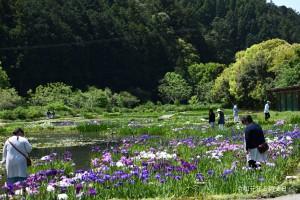 日本初!4-5月咲き花菖蒲