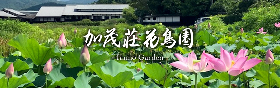 加茂荘の古代ハス